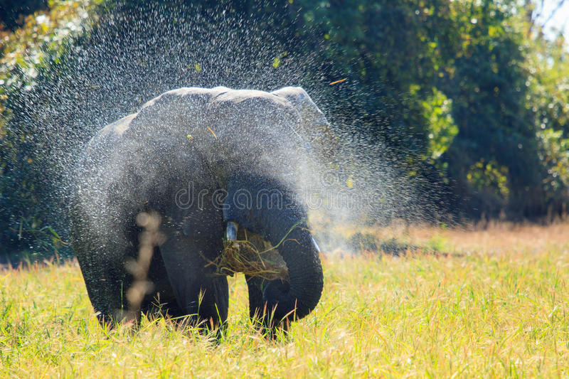 An Elephant standing spraying water. A lone bull elephant spraying himself with water in South Luangwa National Park stock photo