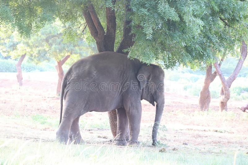 Elephant standing under a tree & eating grass with locked at toe by chain rope at zoo. - Image. Elephant standing under a tree & eating grass with locked at toe royalty free stock photos