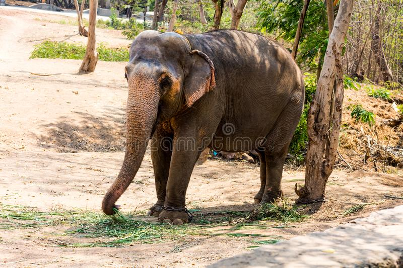 Elephant standing under a tree & eating grass with locked at toe by chain rope at zoo. stock image