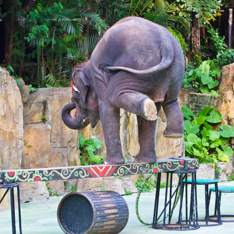 Download Elephant Stands On The Balance Beam Royalty Free Stock Photography - Image: 20176787