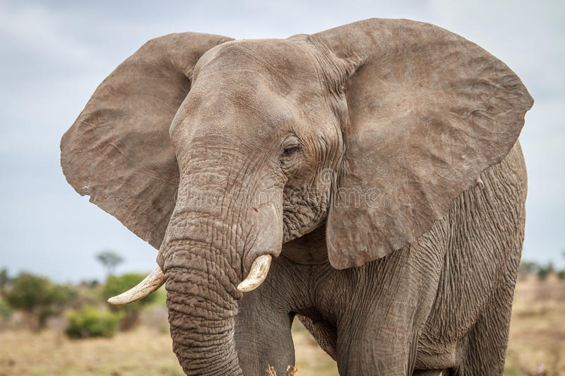 Download Elephant Starring At The Camera. Stock Image - Image: 83719707