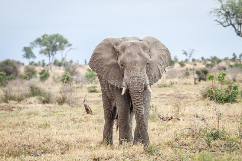 Download Elephant Starring At The Camera. Stock Photo - Image: 83720387