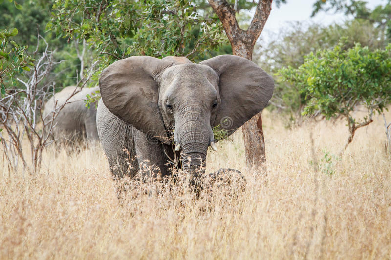 Download Elephant Starring At The Camera. Stock Photo - Image: 83721026