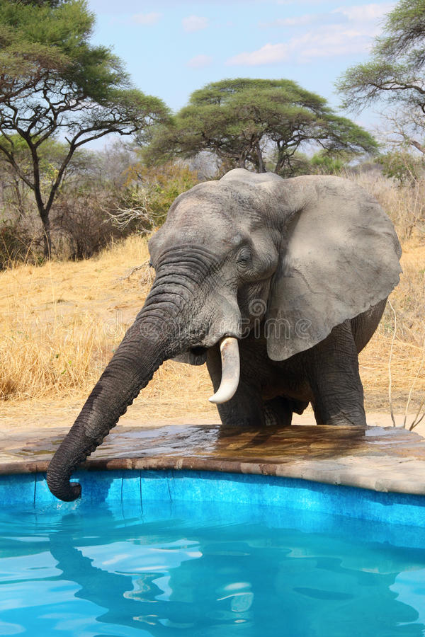 Elephant stealing water from swimming pool royalty free stock photo