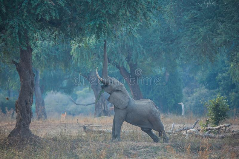 Elephant stretching to reach the seeds stock photos