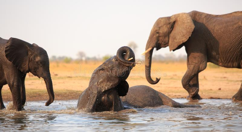 Elephants at play - having a mud bath in Hwange stock images