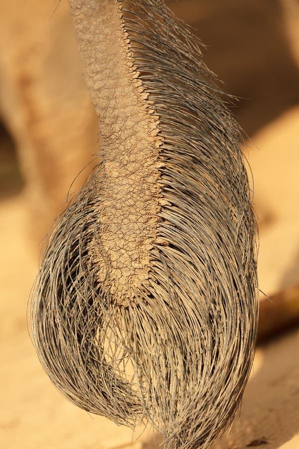 Elephant Tail Royalty Free Stock Photo