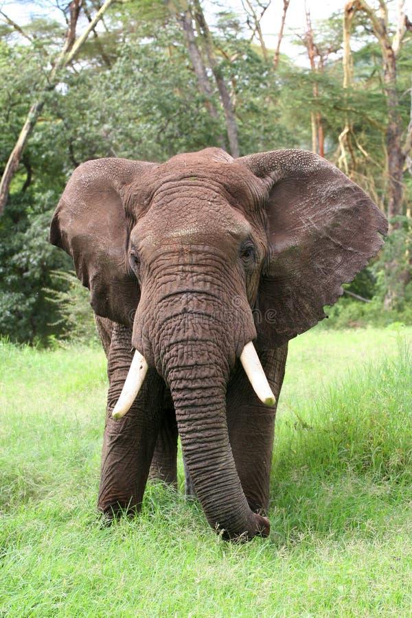 Elephant in Tanzania royalty free stock photos
