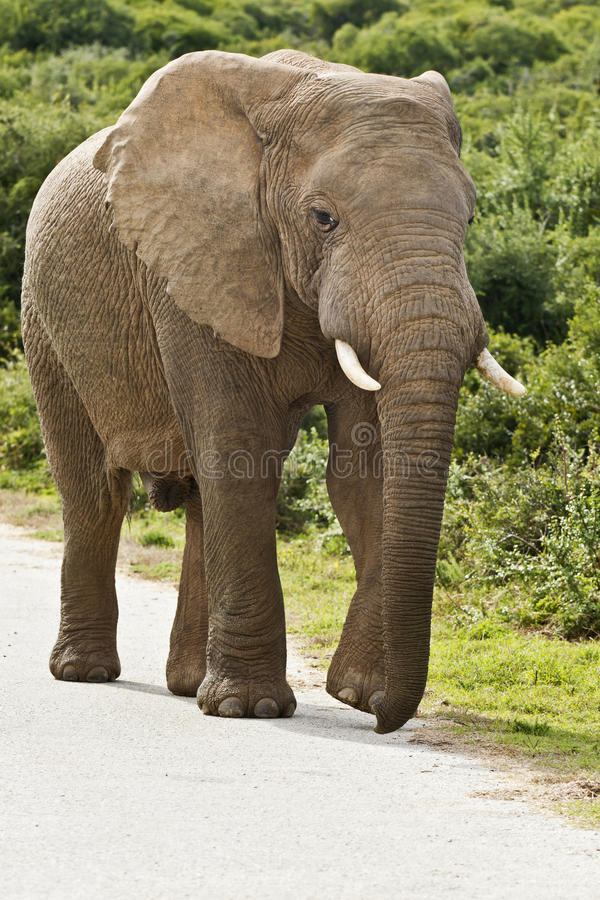 Download Elephant On A Tar Road Stock Photography - Image: 25980722
