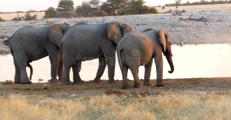 Elephant threesome. Water is a precious and often scarce asset in the Etosha reserve. At the water hole featured here, animals included elephants., oryx, zebra royalty free stock image