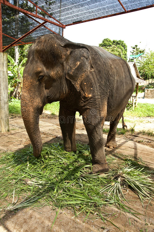 Elephant training in the camp. Asian elephant with saddle in elephant camp royalty free stock photography