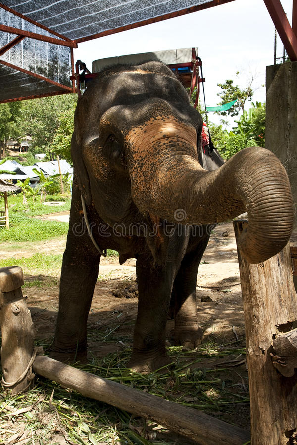 Elephant training in the camp. Asian elephant with saddle in elephant camp royalty free stock photos