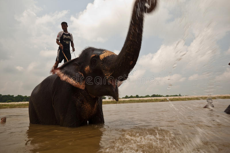 Elephant Trumpets Joy and Water During Bath royalty free stock images