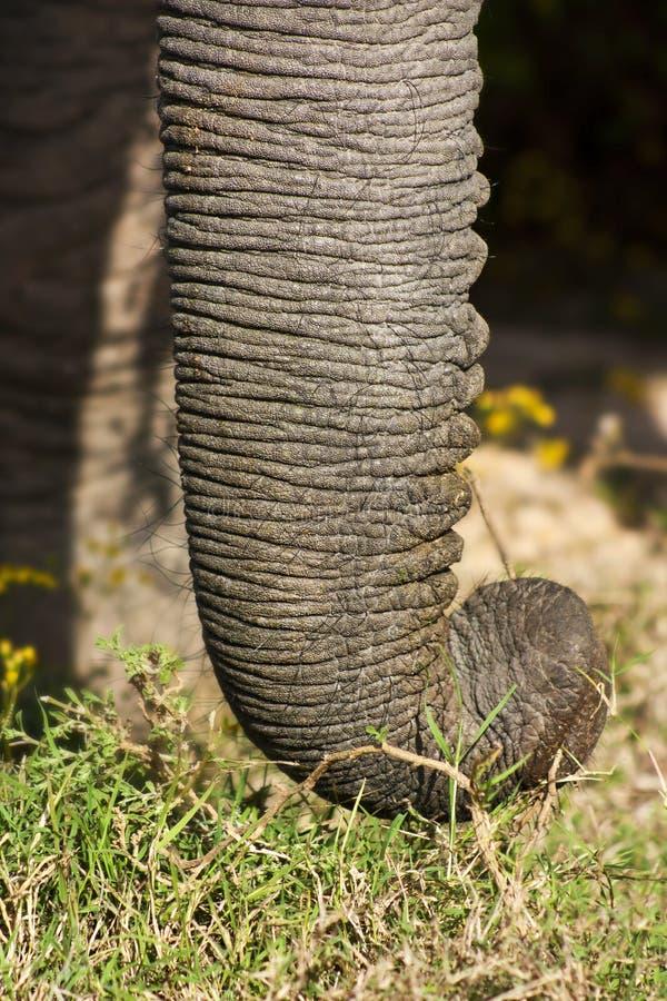 Elephant Trunk royalty free stock images