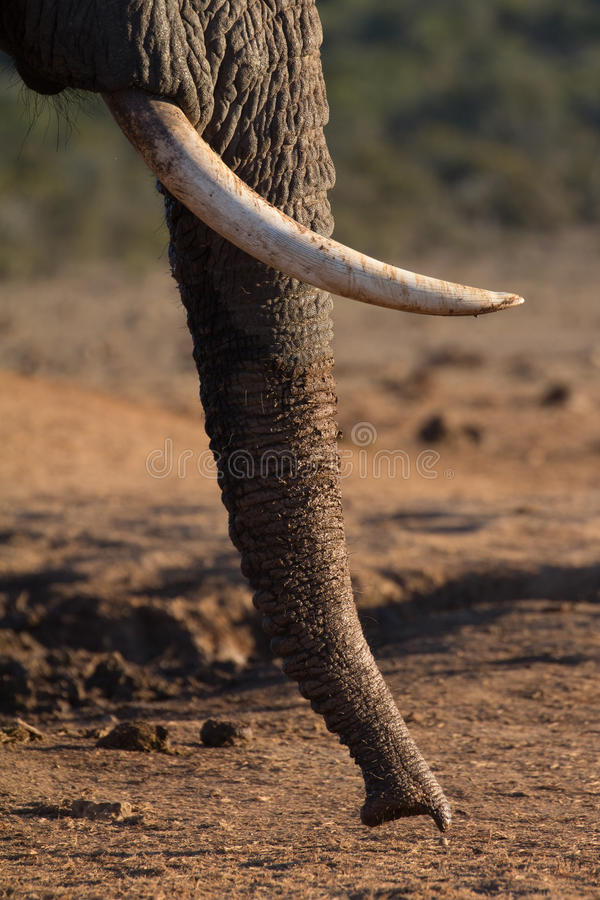 Elephant trunk smelling the ground stock images