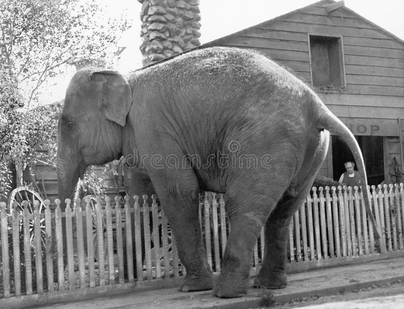 Elephant trying to cross over a picket fence royalty free stock photos
