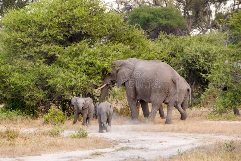 Elephant cow with twins in the wild of Botswana stock photography