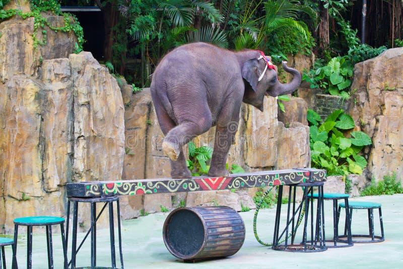 Elephant walk on the balance beam royalty free stock image
