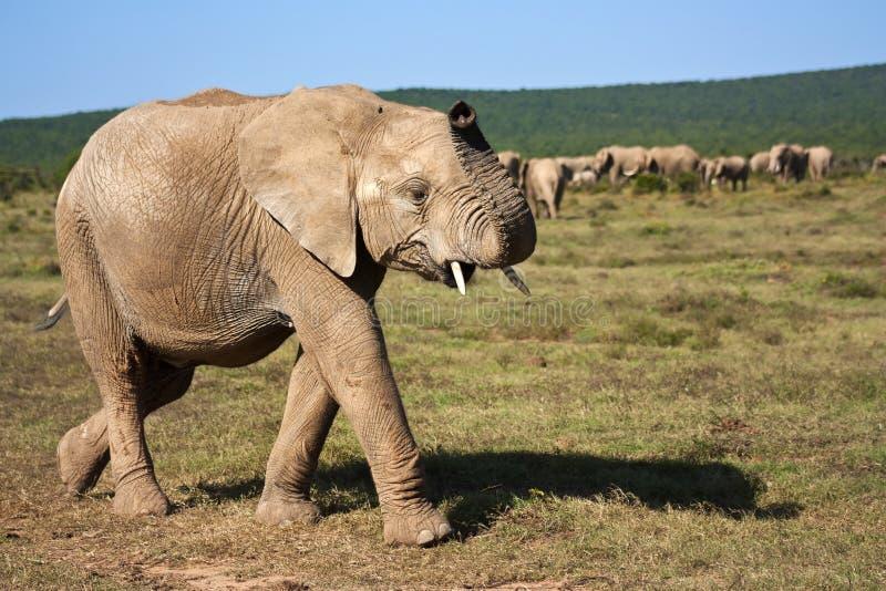 Elephant Walking royalty free stock photography