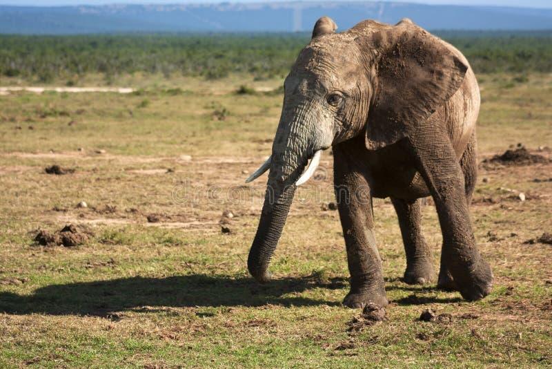 Elephant Walking stock photo