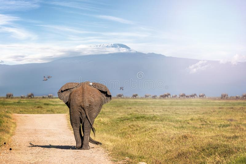 Elephant Walking Away to Mt Kilimanjaro. Large African elephant walking away down road in Amboseli towards Mount Kilimanjaro with line of elephants in the stock image