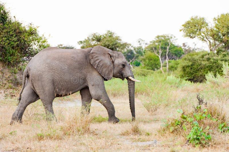 Elephant walking in savannah of Okavango Delta, Botswana stock photos