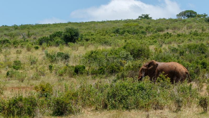 Elephant walking in the forest of long grass stock images