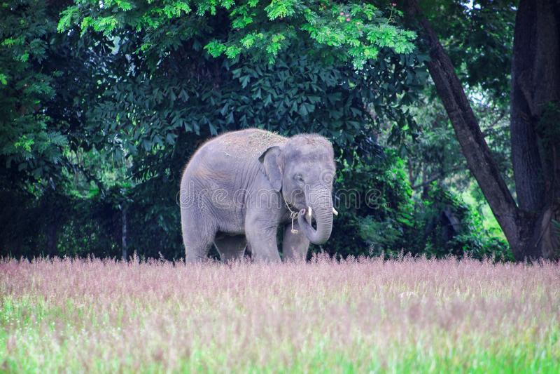 Elephant walking in a green rice field, show skill of elephant stand on narrow ridge. Close up Elephant walking in a green rice field, show skill of elephant royalty free stock photo