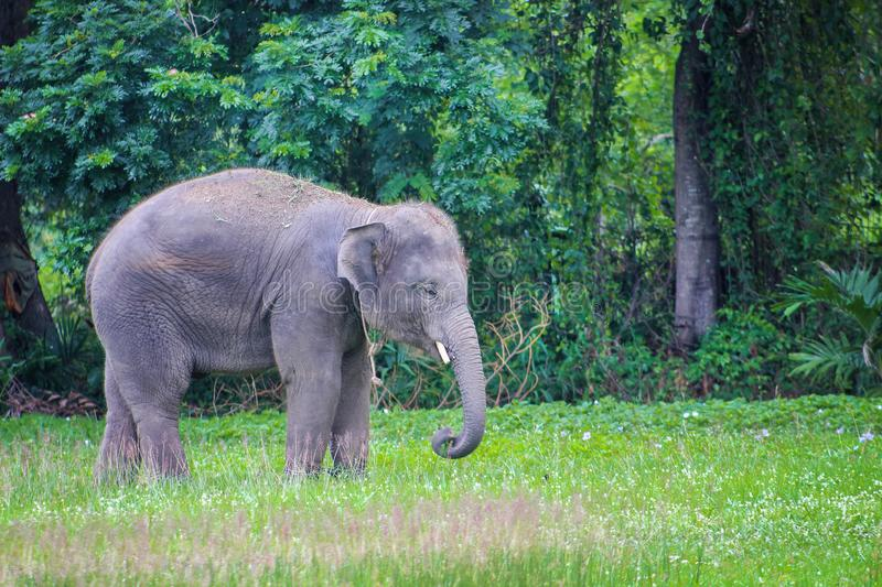Elephant walking in a green rice field, show skill of elephant stand on narrow ridge. Close up Elephant walking in a green rice field, show skill of elephant royalty free stock photography