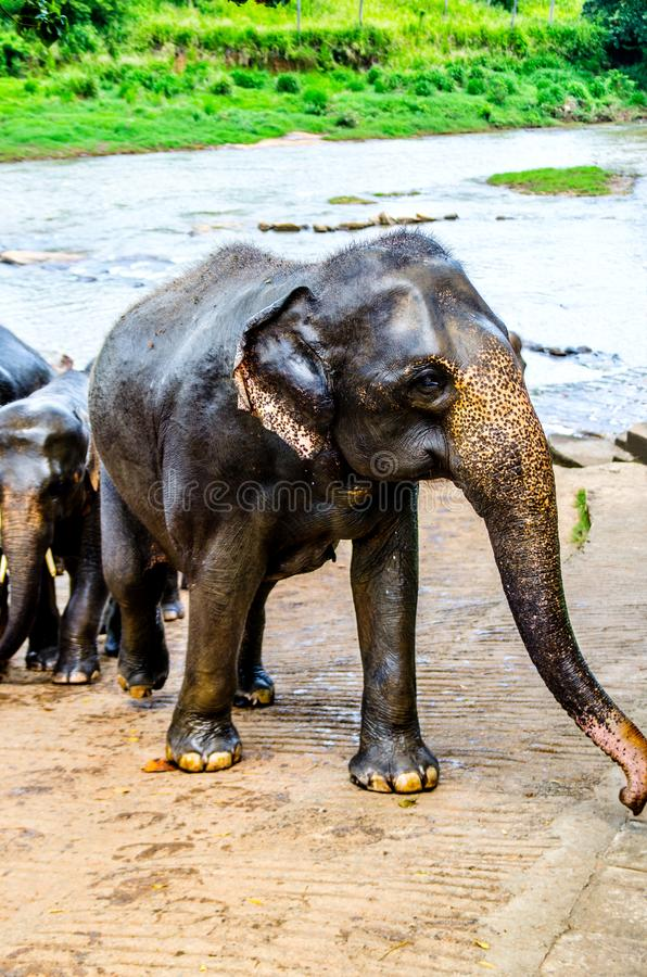 The elephant, walking with the herd standing with a bath in the nursery of Sri Lanka, stopped and looks into the camera. stock photos