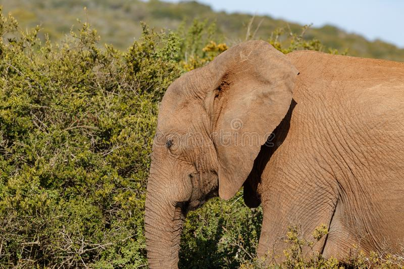 Elephant walking with his eyes closed royalty free stock images