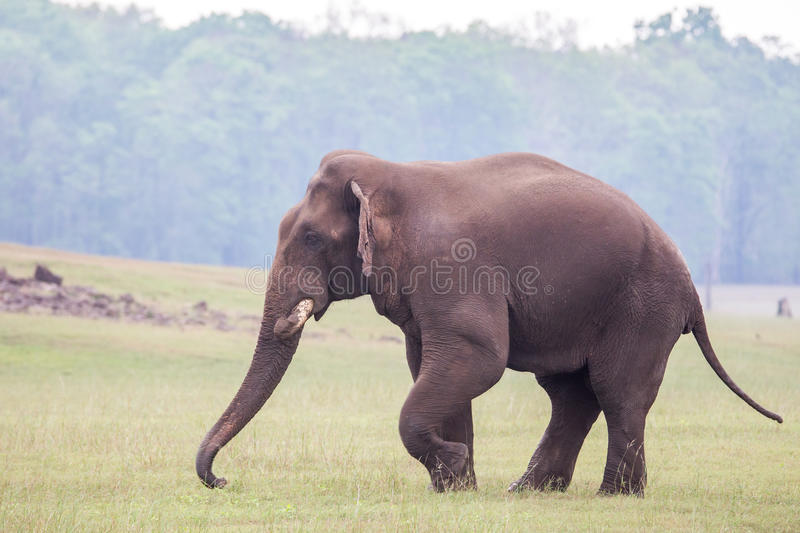 Elephant walking. Elephant sighted grazing grass in the back waters of a reservoir in karnataka India royalty free stock photo
