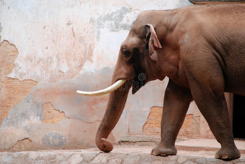 Elephant and wall royalty free stock photography
