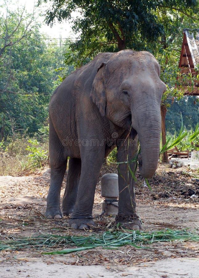 Elephant. Was standing eat sugarcane royalty free stock photos