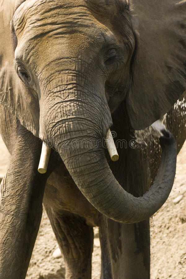 Download Elephant washing stock photo. Image of spraying, animal - 14944018