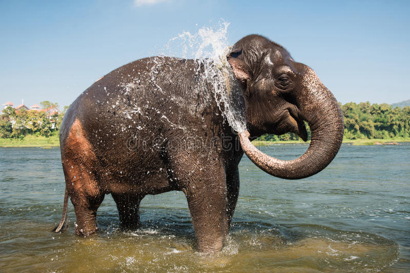 Elephant washing in the river stock photography