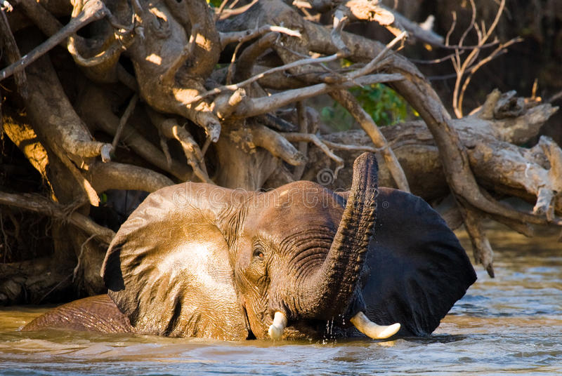 The elephant is in the water. Zambia. Lower Zambezi National Park. Zambezi River. Zambia. Lower Zambezi National Park. Zambezi River royalty free stock photo