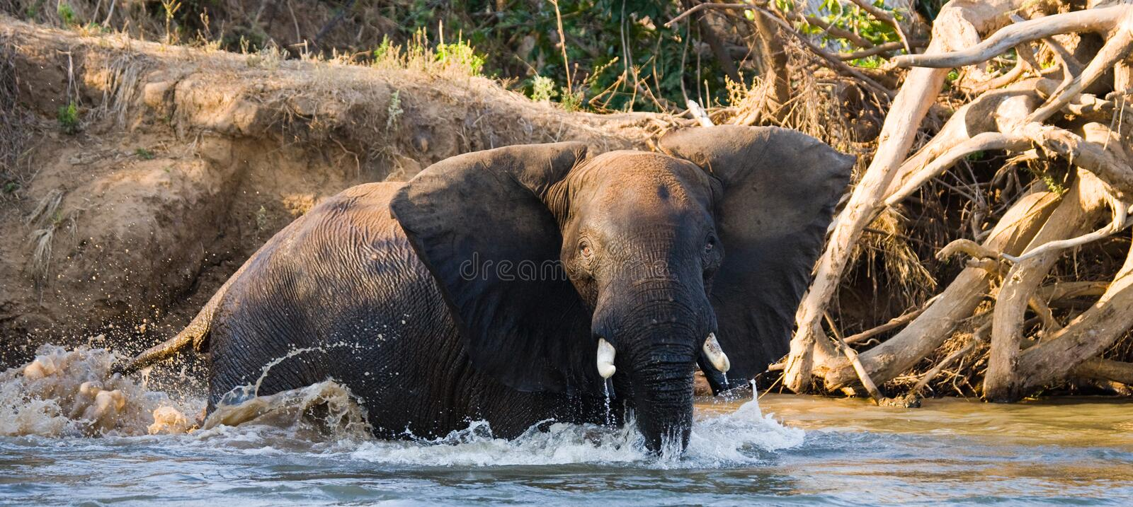 The elephant is in the water. Zambia. Lower Zambezi National Park. Zambezi River. Zambia. Lower Zambezi National Park. Zambezi River royalty free stock images
