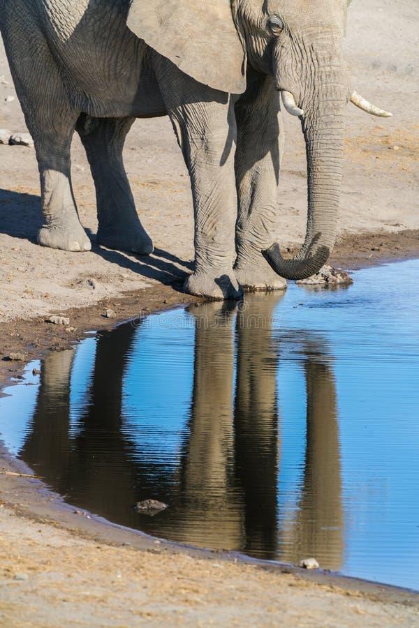 Elephant at waterhole in Etosha National Park, Namibia. Elephant drinking and reflected in calm water of waterhole in Etosha National Park, Namibia royalty free stock photography
