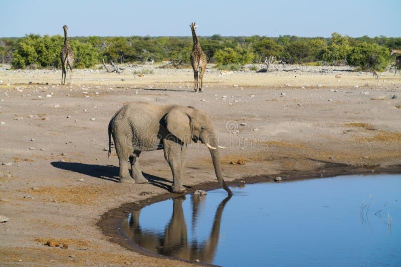 Elephant at waterhole in Etosha National Park, Namibia. Elephant drinking at waterhole as two griaffe walk away in Etosha National Park, Namibia royalty free stock images