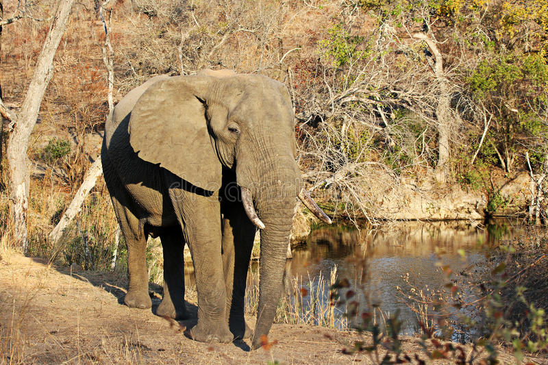 Elephant at a waterhole. An Elephant standing near a waterhole somewhere in Kruger National Park stock image