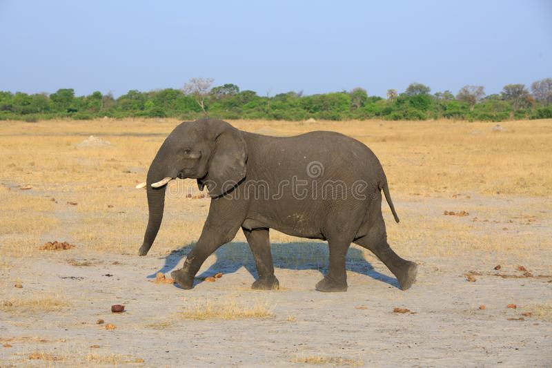 Elephant which has been startled runs across the african savannah in Hwange National Park, Zimbabwe stock image