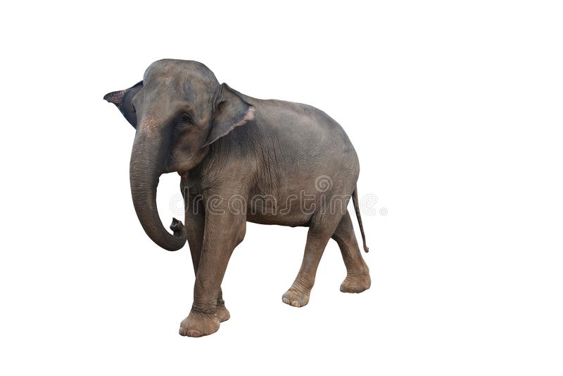 Elephant on white background stock photography