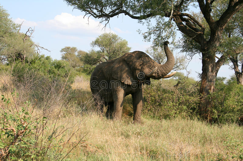 Download Elephant in the wild stock image. Image of tusks, african - 19245817
