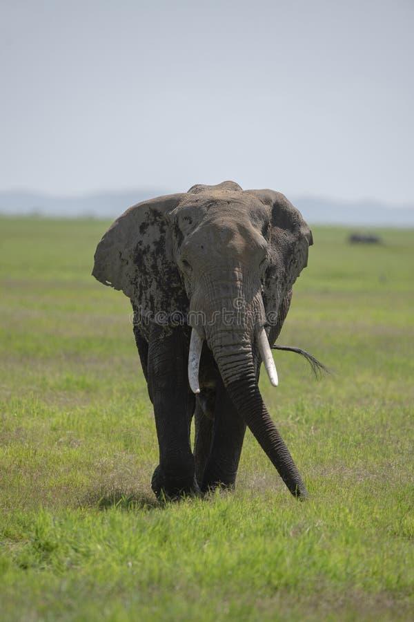 Free Elephant With A Big Tusk At  Amboseli National Park, Kenya Royalty Free Stock Photography - 170273707