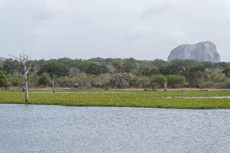 Elephant in Yala National Park, Sri Lanka stock photography