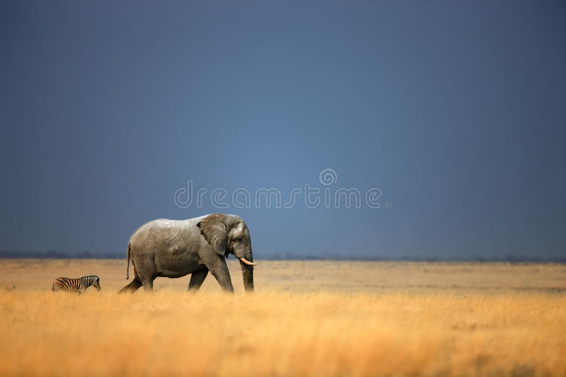 Elephant and zebra. Elephant bull and zebra walking in open grassfield; Loxodonta Africana; Etosha