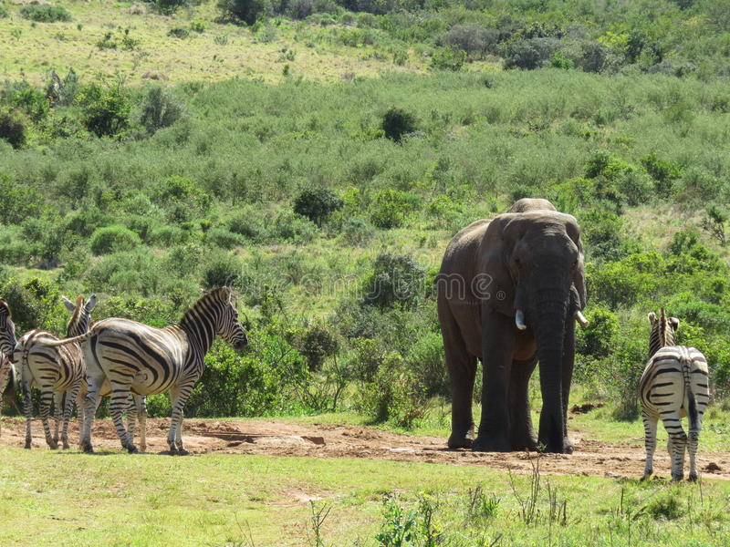 Elephant and zebras at a waterhole. An elephant and zebras at a water hole, in the Addo Elephant National Park, in South Africa royalty free stock photo