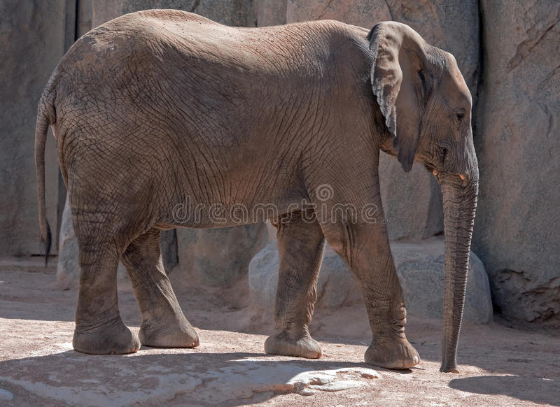 Download Elephant in the zoo stock photo. Image of africana, bishop - 22821302