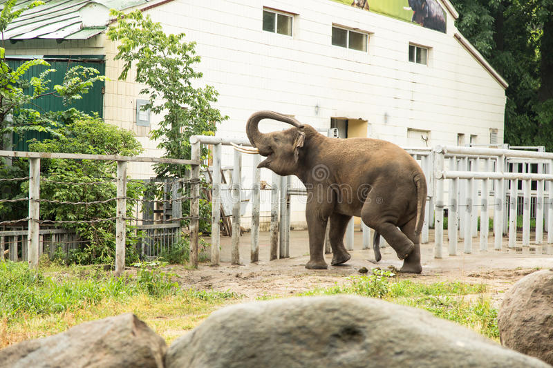 Elephant In Zoo Royalty Free Stock Image